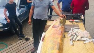 Yakaladığı 110 kiloluk yayın balığını sergiledi