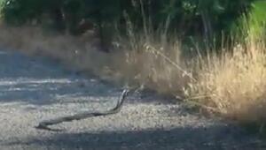 Elazığda yılanların çiftleşme dansı