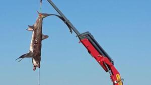 Balıkçıların ağına takıldı Vinçle taşındılar...