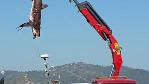 Fethiyede balıkçıların ağına 400er kiloluk 2 köpek balığı takıldı