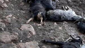 Manisada ağıla yıldırım düştü; 10 keçi telef oldu