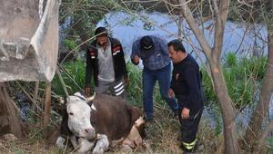 Sulama kanalına düşen inek, kurtarıldı