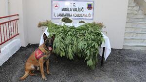Ormanlık alandaki Hint keneviri uyuşturucuya 1 gözaltı