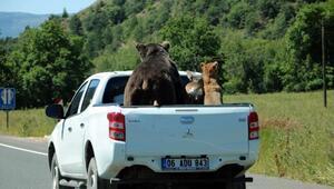 Tahnitli hayvanlar, kamyonetle nakledildi