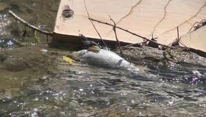 Gümüşhanede toplu balık ölümleri