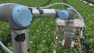 Kendi başına marul toplayabilen robot sınırları zorluyor