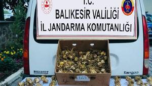 Kaçak zambak soğanı toplayan kişiye 60 bin TL ceza kesildi