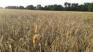 Aksaray'da bin dönüm tarım arazisini dolu vurdu