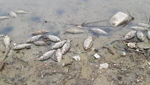 Samsunda baraj gölünde toplu balık ölümleri