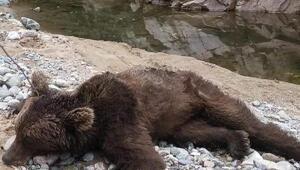 Boz ayı görüntülendiği yerde öldürülmüş olarak bulundu