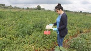 Manyasta domates zararlılarına karşı feromon tuzakları yerleştirildi