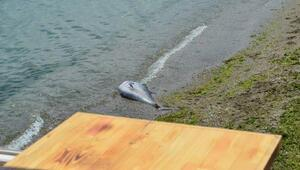 Açık deniz bağlığı orkinos, Mudanya'da sahile vurdu
