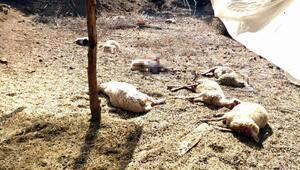 Köyceğizde kurtlar 13 koyunu telef etti
