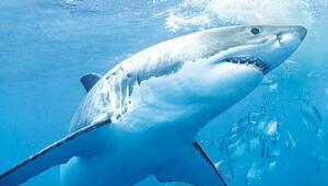 Çanlar köpekbalıkları için çalıyor