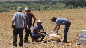 Tuncelide ekipler zehirlenen inekler için seferber oldu