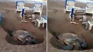 Antalyada tepki çeken görüntü Şezlonglar arasındaki kaplumbağa...