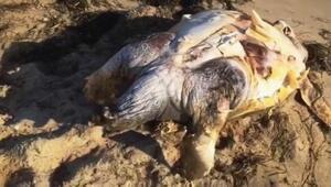 Ayvalık sahiline ölü caretta caretta vurdu