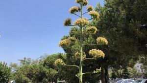 UNESCOnun dünya kültür mirası listesinde bulunan Agave bitkisi, Bursada açtı