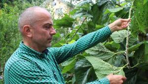 Doğu Karadeniz'de vampir böcek alarmı