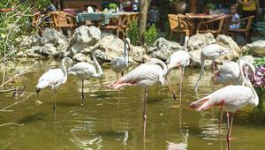 Tüyleri kesilmese uçarlardı... Restoranın süs havuzunda flamingoların ne işi var