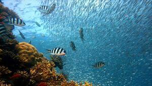 Sıcak hava dalgaları Büyük Set Resifindeki mercanları öldürüyor