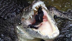 10 yaşındaki çocuk tuzlu su timsahına yem oldu