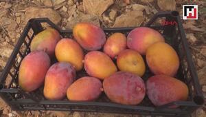 Gazipaşada ilk mango hasadı yapıldı
