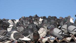 Çatıda gezinen güvercini belediyeye şikâyet etmiş