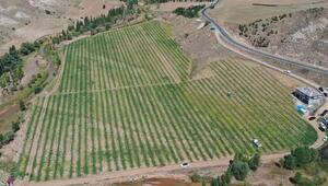 Bozkır'da karpuz hasadı yapıldı