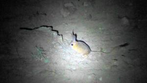 Sivasta Arap tavşanı görüntülendi