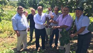 Kaymakam Sözer, Mudanya'da siyah incir hasadına katıldı
