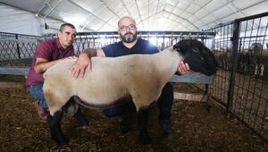 Yenişehirli hayvan yetiştiricileri fuara hazırlanıyor