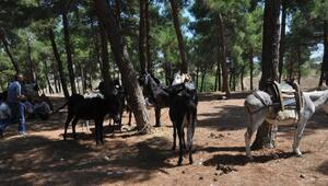 Bayramiç Panayırında at ve eşekler satışa çıktı