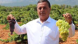 Türkiyenin şaraplık üzüm deposunda, fiyat artışı için güç birliği