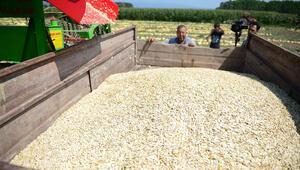 Yerli tohumdan yapılıyor 4 kıtaya ihraç ediyor