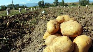 Boluda patates hasadı başladı
