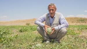 Karpuzda mantar hastalığı olunca kavun üretimine geçti