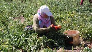 Bitlis'te domatesten 200 milyon lira gelir elde ediliyor