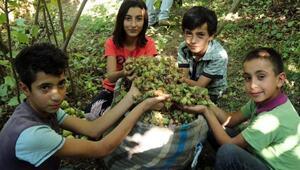 Hizan'da fındık hasadı başladı