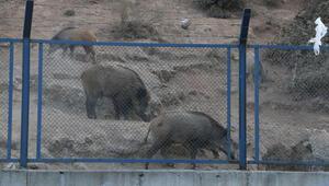 Sarıyerde domuzlar caddeye indi