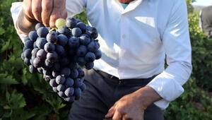 Bitliste üzüm hasadı başladı