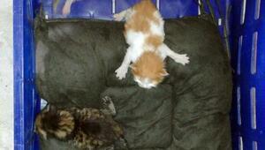 3 yavru kedi, domates kasasında İstanbuldan Antalyaya geldi