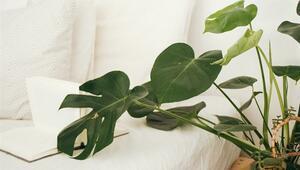 NASA Açıkladı: Evdeki Havayı Temizleyen Bitkiler