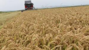 Manyas'taki çeltik hasadı, üreticileri sevindirdi