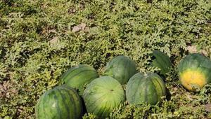 Bu karpuzlar Ankaranın Polatlı ilçesinde yetişiyor En önemli özellikleri ise...