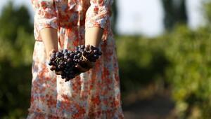 Kalecik karası Bordeaux üzümüne eş değer