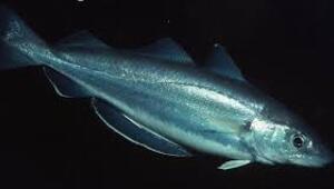 Trança balığı nedir ve nasıl pişirilir