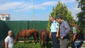 Bursada sahipsiz atlar belediye korumasında