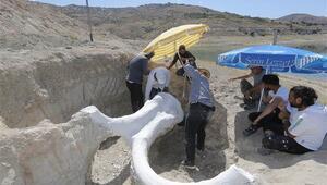 7,5 milyon yıllık fosil, özel yöntemle Bilim Merkezine taşındı