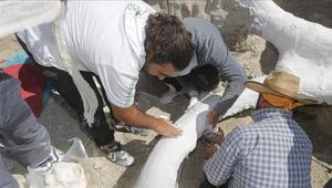 7,5 milyon yıllık fosil alçı ceketle taşındı